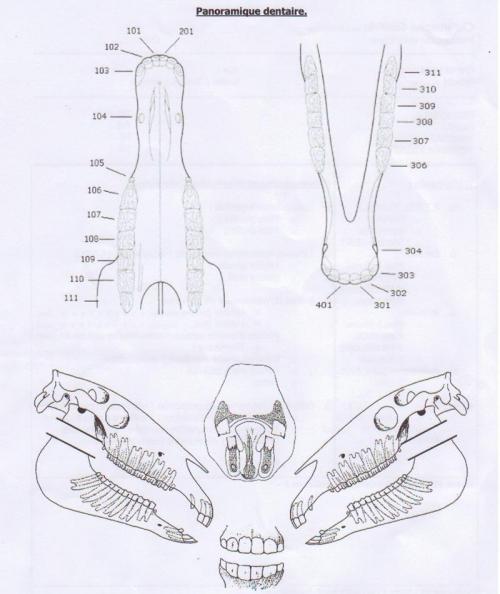 Schéma de la dentition des chevaux